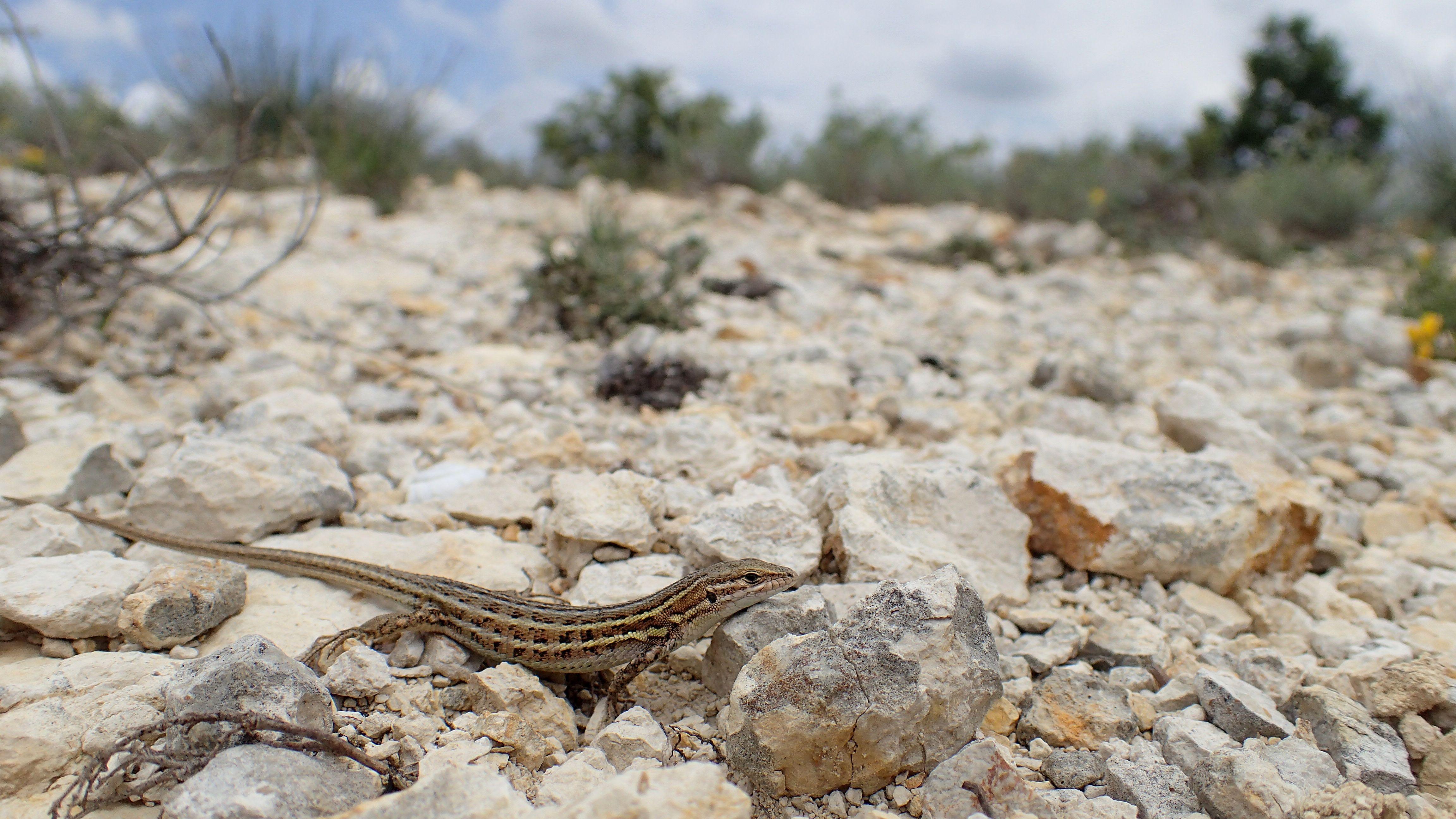 Psammodrome d'Edwards femelle en déplacement au sein de son habitat, Forcalquier (Astardant), 2018.