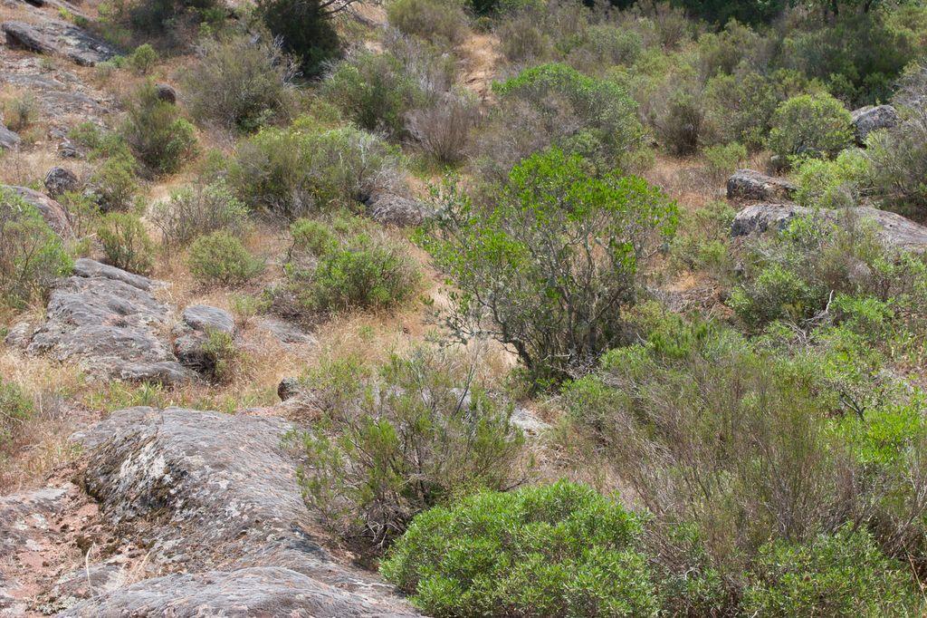 Habitat typique de la Tortue d'Hermann (maquis) où s'intercalent des dalles et promontoires rocheux en grès roses - Plaine des Maures (83)