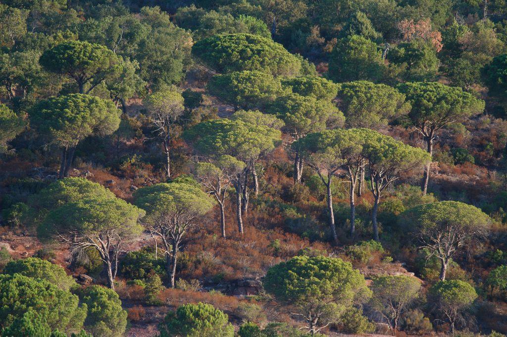 Paysage de la plaine des maures composé de Pins parasol Pinus pinea qui émergent de landes basses à bruyères (83)