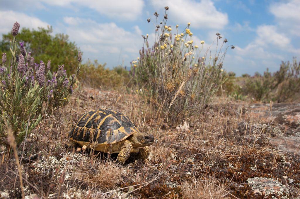 Tortue d'Hermann Testudo hermanni  adulte en déplacement dans son habitat naturel - Plaine des Maures (83)