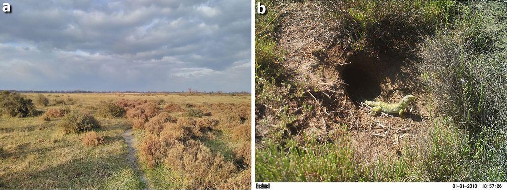 Figure 12 : a) L'un des derniers habitats encore favorable au Lézard ocellé en Camargue, Tour du Valat, Arles, 2017 ; b) Observation d'un Lézard ocellé à l'entrée d'un terrier de lapin grâce à l'utilisation d'un « piège photographique », Tour du Valat, Arles, 2012.