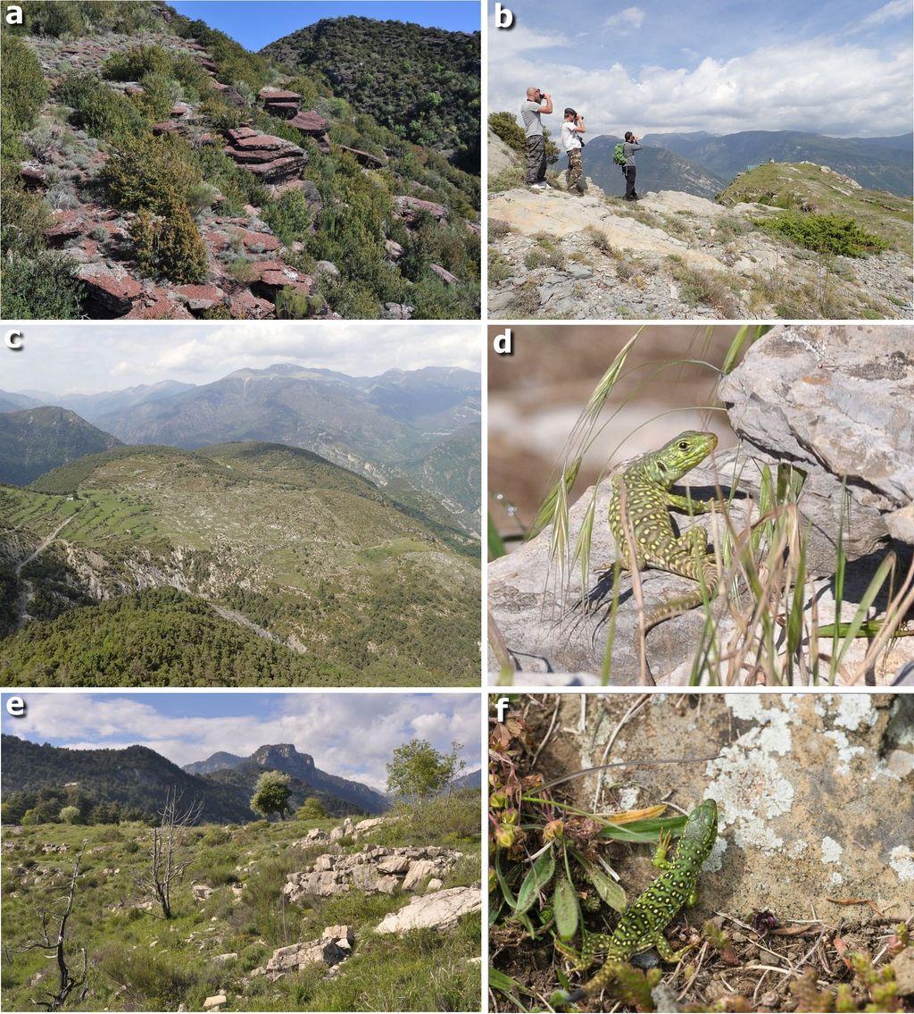 Figure 6 : Le Lézard ocellé dans le département des Alpes-Martimes (suite). a) Habitat d'une population de Lézard ocellé composé d'une lande xérothermophile dominée par le buis <i>Buxus sempervirens</i>  sur affleurements de pélites permiennes, Col de Roua, 1242 m, la Croix-sur-Roudoule, 2015 ; b) Observation à distance d'un Lézard ocellé (de gauche à droite : A. Renet, S. Diebolt et O. Gerriet) sur la ligne de crête de l'Ibac du Moulin, Ilonse, 1248 m, 2017 ; c) Vue sur le secteur de Loïrins contrôlé positivement en 2018 au nord d'Ilonse, Ilonse, 2017 ; d) Lézard ocellé juvénile observé en 2013 dans les environs de la Chapelle Saint-Sébastien, La Tour, 569 m ; e) Site fortement pressenti de la Vilette au nord-est de la Tour, 802 m, 2013 ; f) Lézard ocellé juvénile découvert sur le massif de l'Autaret, Duranus, 1184 m, 2017. Photos : © Julien Renet sauf f) © Clément Blin