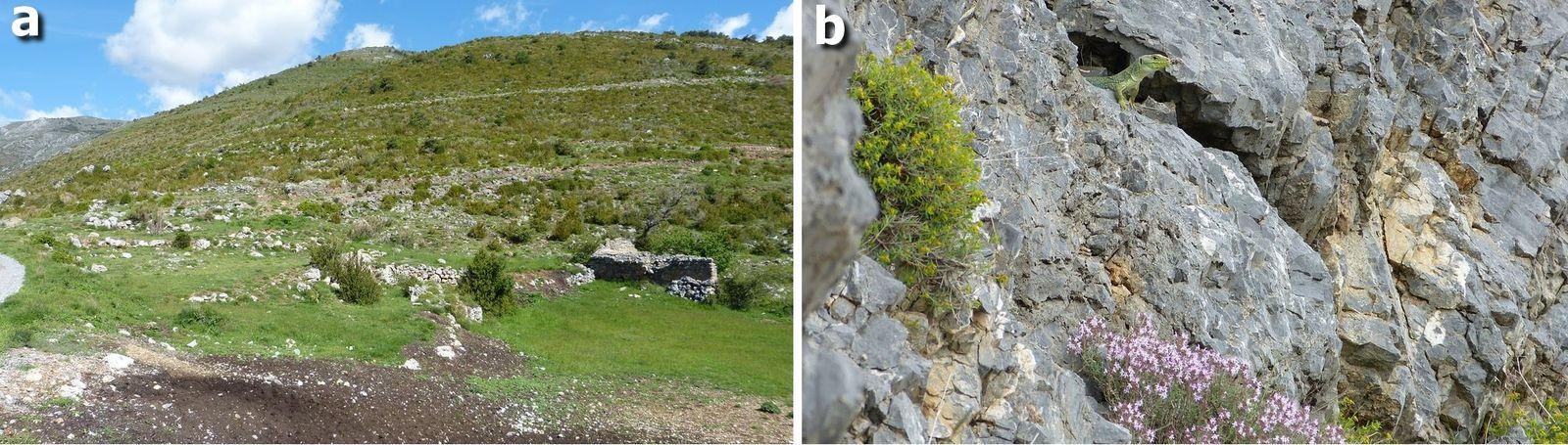 Figure 7 : Le Lézard ocellé dans le département des Alpes-Maritimes (fin). a) Habitat d'une population de Lézard ocellé jusqu'alors passée inaperçue, Fontan, 979 m, 2018 ; b) Mâle adulte à l'entrée de son gîte, Fontan, 1190 m.